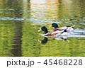 水辺で泳ぐ鴨 45468228