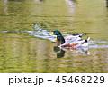水辺で泳ぐ鴨 45468229