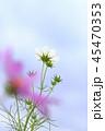 コスモス 花 青空の写真 45470353