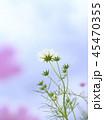 コスモス 花 青空の写真 45470355