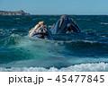 ミナミセミクジラ 親子 45477845