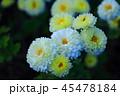 白い菊 45478184