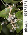 センニンソウの種 45478471