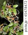センニンソウの種 45478472