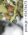 チュウレンジバチの幼虫 45478475