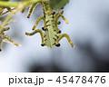 チュウレンジバチの幼虫 45478476