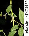 チュウレンジバチの幼虫 45478477