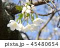 白い花びらの桜1 45480654