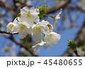 白い花びらの桜2 45480655