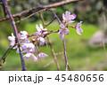 しだれ桜1 45480656