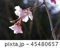しだれ桜2 45480657