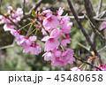 ピンク色の桜 45480658