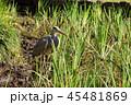 アオサギ 鳥 野鳥の写真 45481869