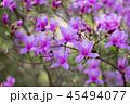 ミツバツツジ ツツジ 花の写真 45494077