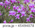 ミツバツツジ ツツジ 花の写真 45494078