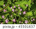 ミゾソバ 45501637