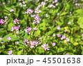 ミゾソバ 45501638