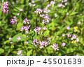 ミゾソバ 45501639