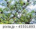 松の木 45501893