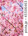 桜 河津桜 花の写真 45506463