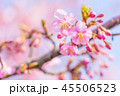 桜 河津桜 花の写真 45506523