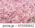桜 河津桜 花の写真 45506842