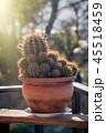 さぼてん サボテン 仙人掌の写真 45518459