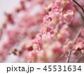 梅 紅梅 花の写真 45531634