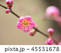 梅 紅梅 花の写真 45531678