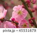 梅 紅梅 花の写真 45531679