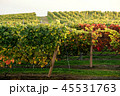 Rows of Vineyard Grape in Fall and Autumn Season 45531763