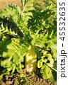 大根 大根畑 畑の写真 45532635