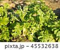 大根 大根畑 畑の写真 45532638
