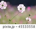 コスモス 花 桃色の写真 45533558
