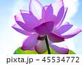 ハス 花 晴れの写真 45534772