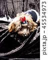 小型犬 犬 動物の写真 45534973