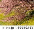 みなみの桜と菜の花 45535843