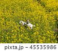 菜の花畑の犬 45535986