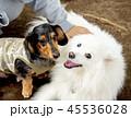 犬 動物 ミニチュアダックスの写真 45536028