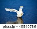 湖 鳥 白鳥の写真 45540736