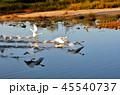湖 鳥 白鳥の写真 45540737