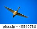 鳥 白鳥 カモ科の写真 45540738
