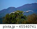 鳥 白鳥 鶯野の写真 45540741
