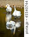 湖 鳥 白鳥の写真 45540744