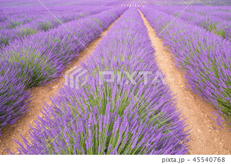 Endless rows of blooming lavender flowers in a scented field of Valensole village, France. 45540768