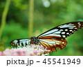 アサギマダラ 45541949