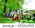 アサギマダラ 45541950