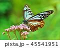 アサギマダラ 45541951