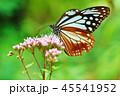 アサギマダラ 45541952