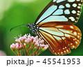 アサギマダラ 45541953